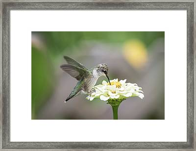 Hummingbird 2016-2 Framed Print