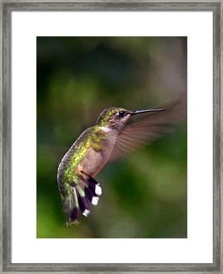 Hummingbird 3 Framed Print