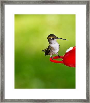 Hummingbird 4 Framed Print by Edward Myers