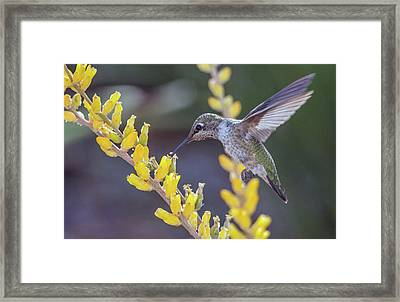 Hummingbird 6750-041818-1cr Framed Print
