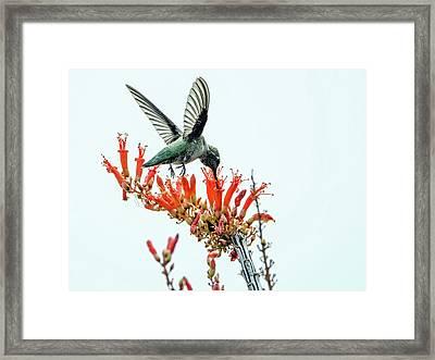 Hummingbird 7642 Framed Print by Tam Ryan