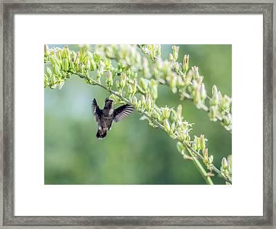 Hummingbird 7718-cr Framed Print by Tam Ryan