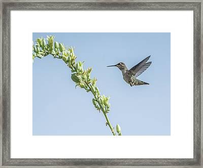 Hummingbird 7728cr Framed Print by Tam Ryan