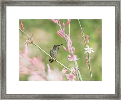 Hummingbird 7740-cr Framed Print by Tam Ryan