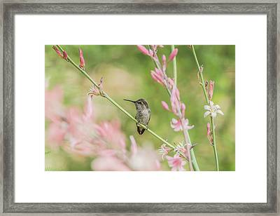 Hummingbird 7750 Framed Print by Tam Ryan