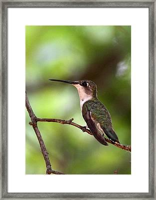 Hummingbird - Afternoon Ruby Framed Print by Travis Truelove