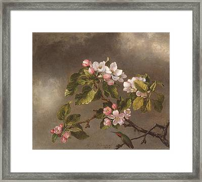Hummingbird And Apple Blossoms Framed Print
