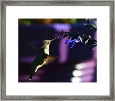 Hummingbird And Blue Flower Framed Print