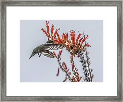 Hummingbird And Ocotillo Framed Print by Tam Ryan
