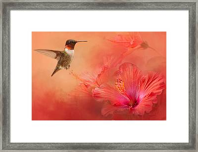 Hummingbird And Peach Hibiscus Framed Print