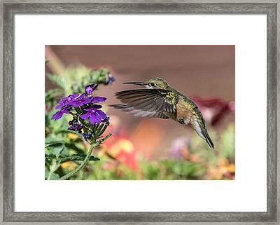Hummingbird And Purple Flower Framed Print