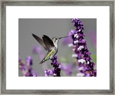 Hummingbird And Purple Flowers Framed Print