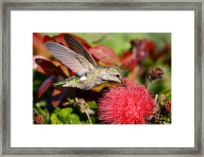 Hummingbird And Red Flower Framed Print