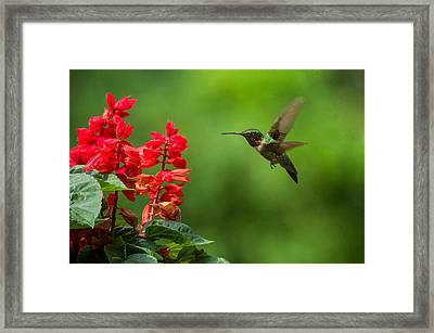 Hummingbird And Scarlet Sage Framed Print