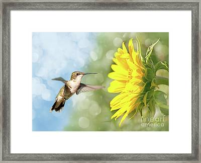 Hummingbird And Sunflower Framed Print