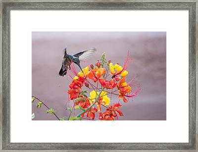 Framed Print featuring the photograph Hummingbird At Work by Dan McManus