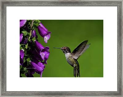 Framed Print featuring the photograph Hummingbird Ballet by Lara Ellis