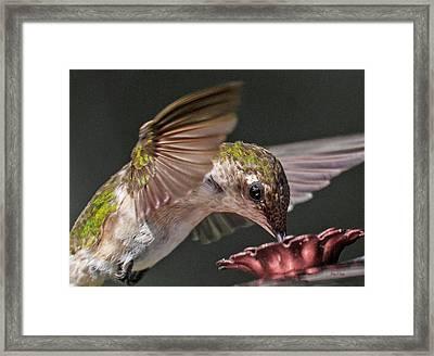 Hummingbird. Framed Print