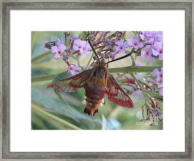 Hummingbird Butterfly Framed Print by Jeepee Aero