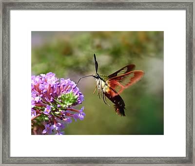 Hummingbird Clearwing Moth Framed Print