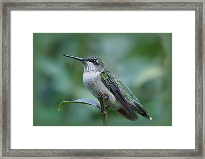 Hummingbird Close-up Framed Print by Sandy Keeton