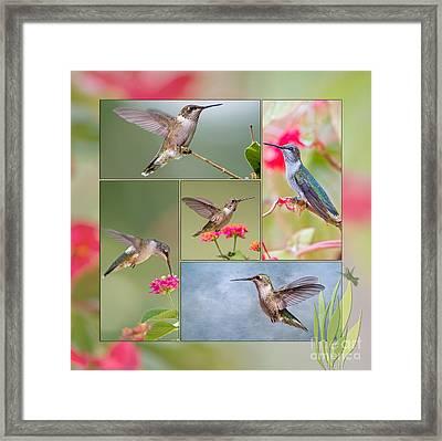 Hummingbird Collage Framed Print