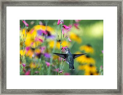 Hummingbird Dance Framed Print by Dana Moyer