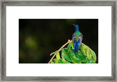 Hummingbird Framed Print by Daniel Precht