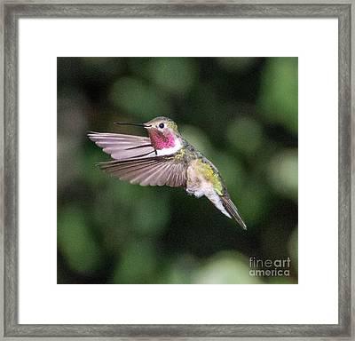 Hummingbird Framed Print by Dennis Wagner