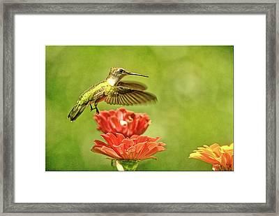 Hummingbird Drinking From Zinnia Framed Print