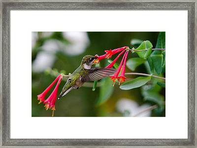 Framed Print featuring the photograph Hummingbird Feeding by Gary Wightman