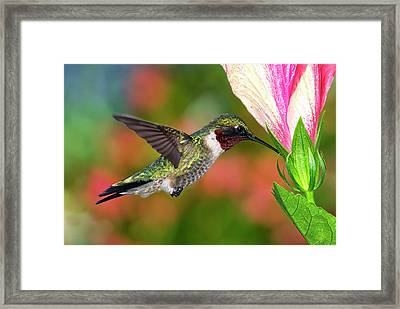 Hummingbird Feeding On Hibiscus Framed Print by DansPhotoArt on flickr