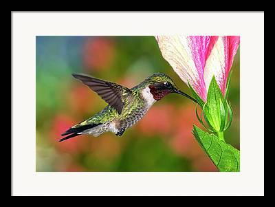 Male Ruby-throated Hummingbird Framed Prints
