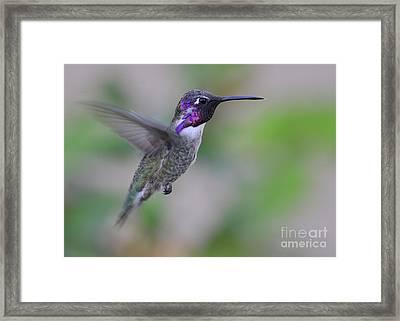 Hummingbird Flight Framed Print