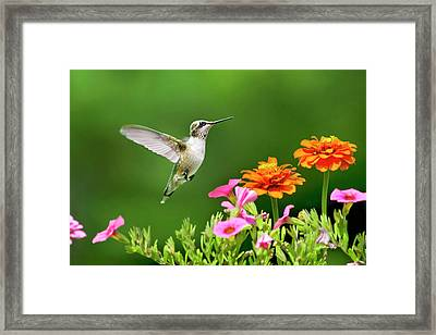 Hummingbird Flying With Flowers Framed Print