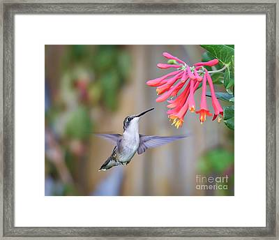 Hummingbird Happiness 2 Framed Print