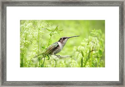 Hummingbird Hiding In Flowers Framed Print by Christina Rollo
