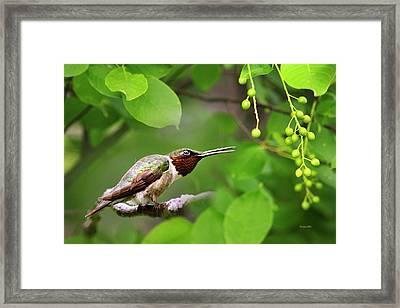 Hummingbird Hiding In Tree Framed Print by Christina Rollo