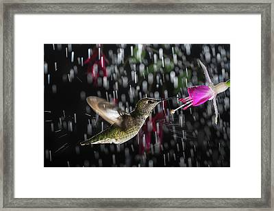 Hummingbird Hovering In Rain With Splash Framed Print