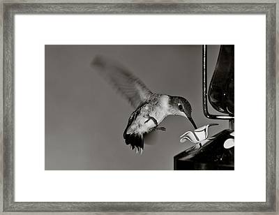 Hummingbird In Black And White Framed Print by Edward Myers
