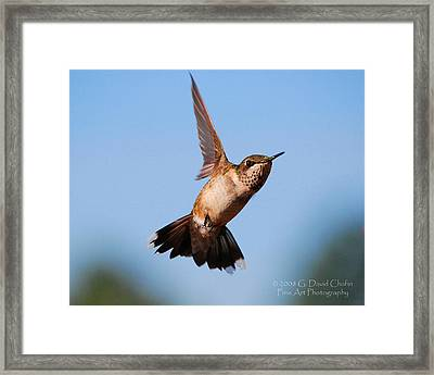 Hummingbird In Flight Framed Print by Dave Chafin