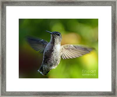 Hummingbird In Flight Framed Print by Marilyn Smith