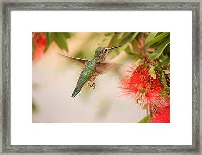 Hummingbird In Paradise Framed Print by Penny Meyers