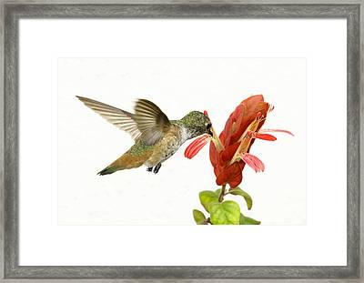 Hummingbird In The Flower Framed Print by Phil Stone