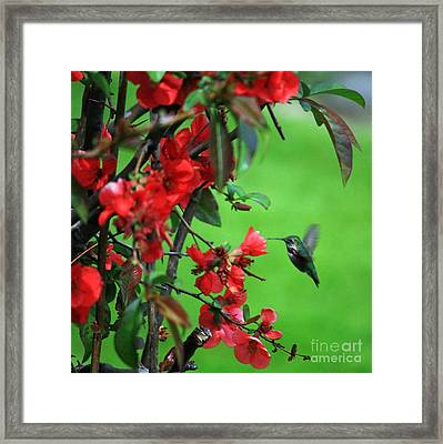 Hummingbird In The Flowering Quince - Digital Painting Framed Print