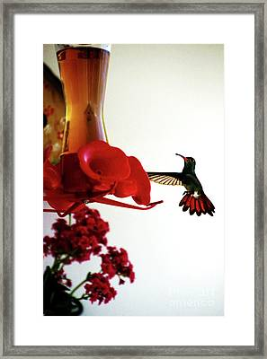 Hummingbird In Tulua, Colombia Framed Print