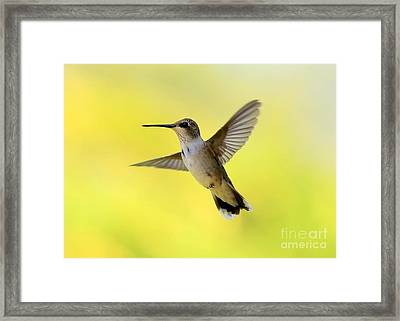 Hummingbird In Yellow Framed Print