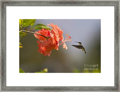 Hummingbird Likes A Hibiscus Framed Print