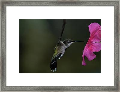 Hummingbird Framed Print by Mike Martin