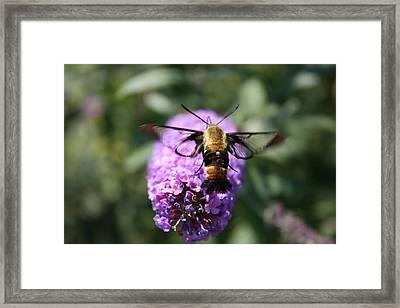 Hummingbird Moth Framed Print by Janet Pugh